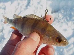 Ловля щуки на живца зимой